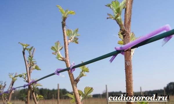 Малина-ягода-Выращивание-малины-Уход-за-малиной-15