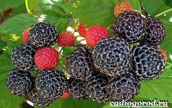 Малина-ягода-Выращивание-малины-Уход-за-малиной-31