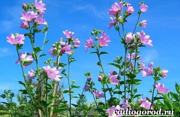 Мальва-цветок-Описание-особенности-виды-и-уход-за-мальвой-1
