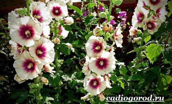 Мальва-цветок-Описание-особенности-виды-и-уход-за-мальвой-17