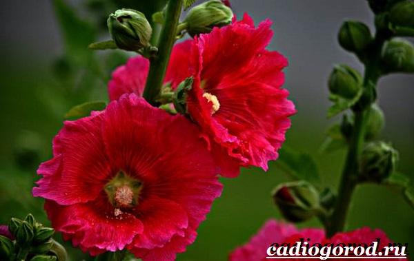 Мальва-цветок-Описание-особенности-виды-и-уход-за-мальвой-19