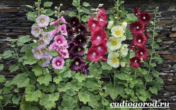 Мальва-цветок-Описание-особенности-виды-и-уход-за-мальвой-7