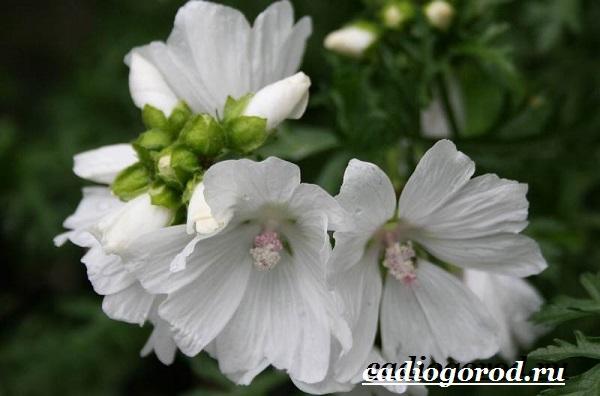 Мальва-цветок-Описание-особенности-виды-и-уход-за-мальвой-8