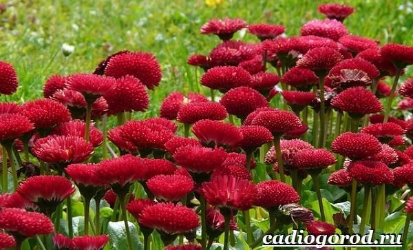 Маргаритки-цветы-Описание-особенности-уход-и-виды-маргариток-22