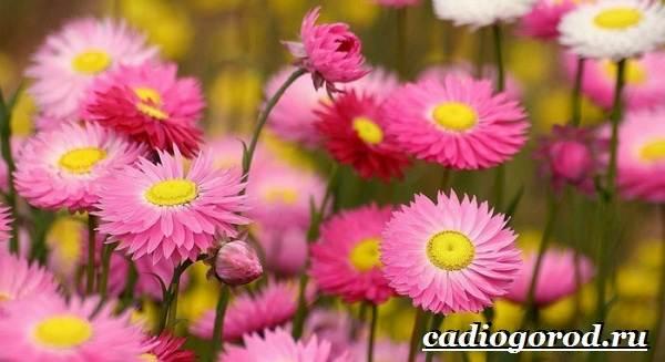 Маргаритки-цветы-Описание-особенности-уход-и-виды-маргариток-29