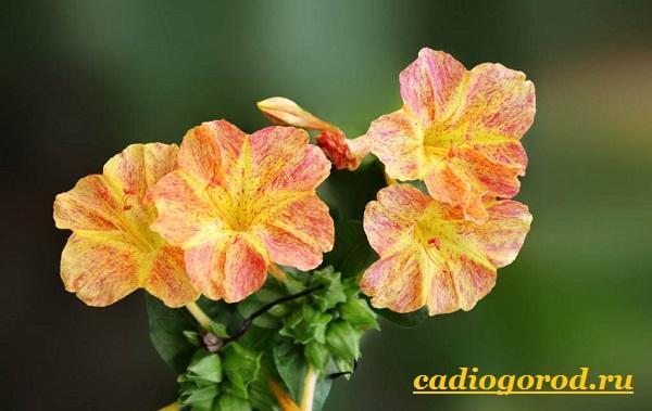 Мирабилис-цветок-Описание-особенности-виды-и-уход-за-мирабилисом-17