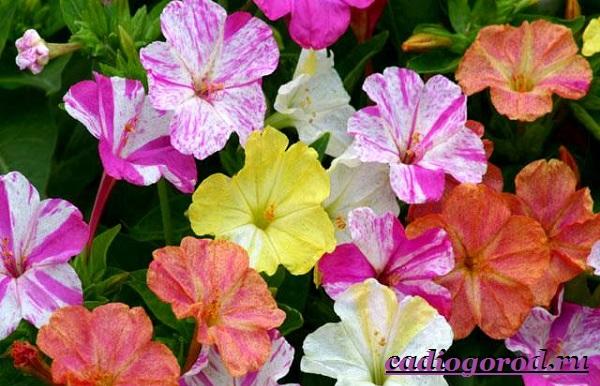 Мирабилис-цветок-Описание-особенности-виды-и-уход-за-мирабилисом-18