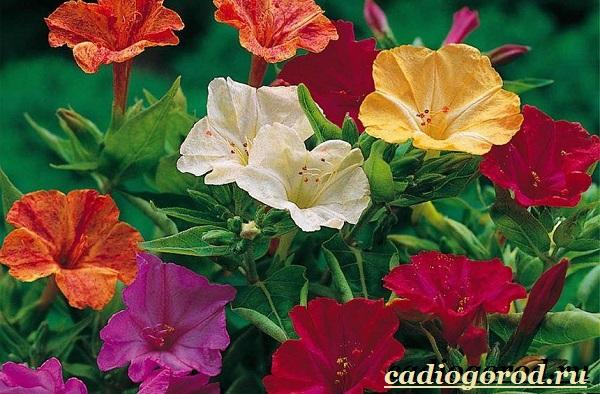 Мирабилис-цветок-Описание-особенности-виды-и-уход-за-мирабилисом-21