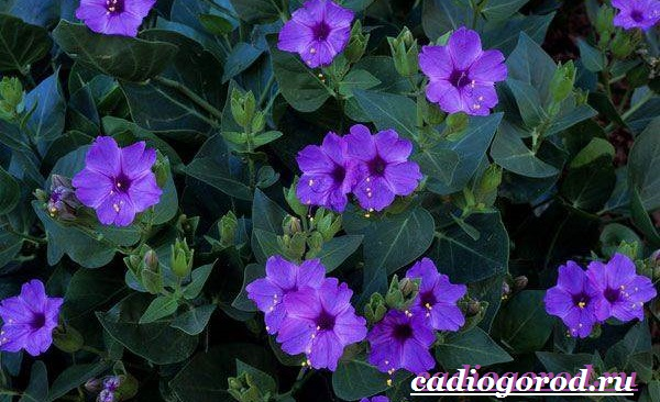 Мирабилис-цветок-Описание-особенности-виды-и-уход-за-мирабилисом-23