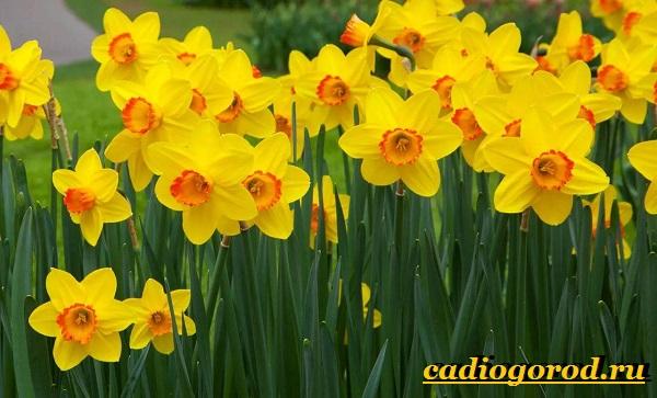 Нарцисс-цветок-Выращи-вание-нарцисса-Уход-за-нарциссом-1