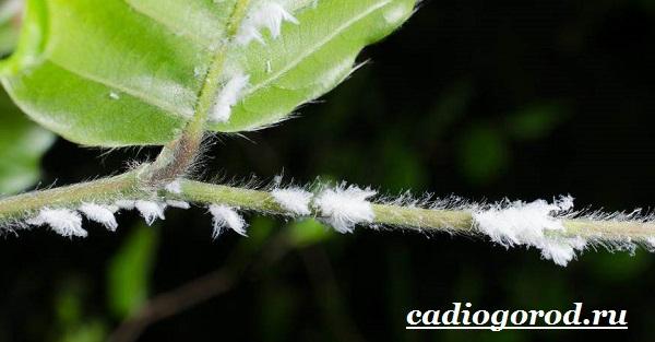 Нертера-цветок-Описание-особенности-виды-и-уход-за-нертерой-6