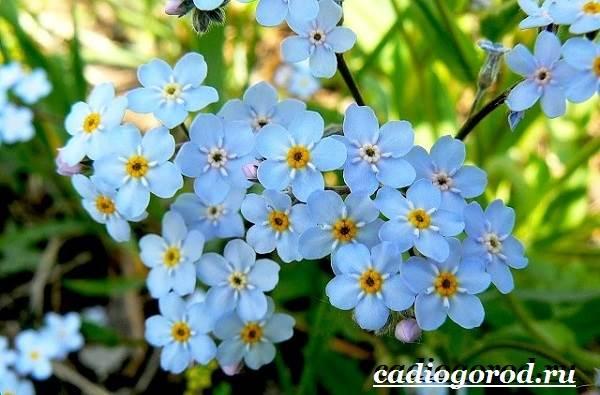 Незабудка-цветок-Выращивание-незабудок-Уход-за-незабудками-11