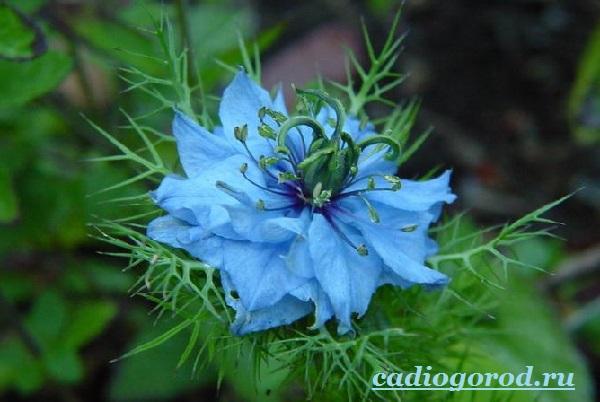 Нигелла-цветок-Описание-особенности-виды-и-уход-за-нигеллой-4