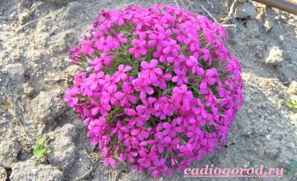 Обриета-цветок-Описание-особенности-виды-и-уход-за-обриетой-9