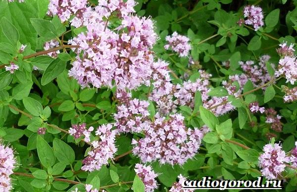 Орегано-растение-Описание-особенности-виды-и-уход-за-орегано-3
