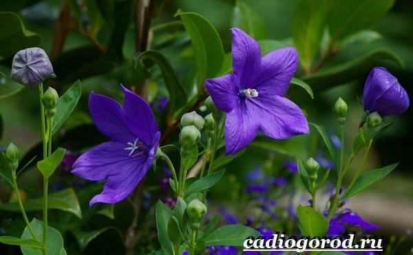 Платикодон цветок. Описание, особенности, виды и уход за платикодоном-14