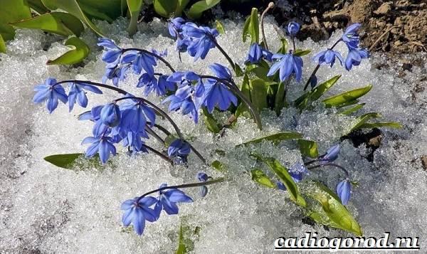 Пролески-цветы-Описание-особенности-виды-и-уход-за-пролесками-12