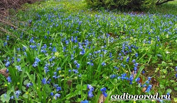 Пролески-цветы-Описание-особенности-виды-и-уход-за-пролесками-13