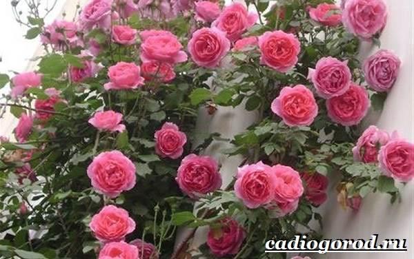 Роза-комнатная-Описание-особенности-виды-и-уход-за-комнатной-розой-5
