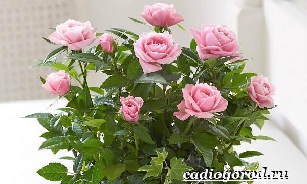 Роза-комнатная-Описание-особенности-виды-и-уход-за-комнатной-розой-6