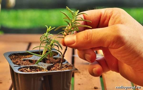 Розмарин-растение-Описание-особенности-виды-и-выращивание-12