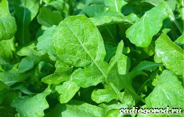 Руккола-растение-Выращивание-рукколы-Виды-и-уход-за-рукколой-1