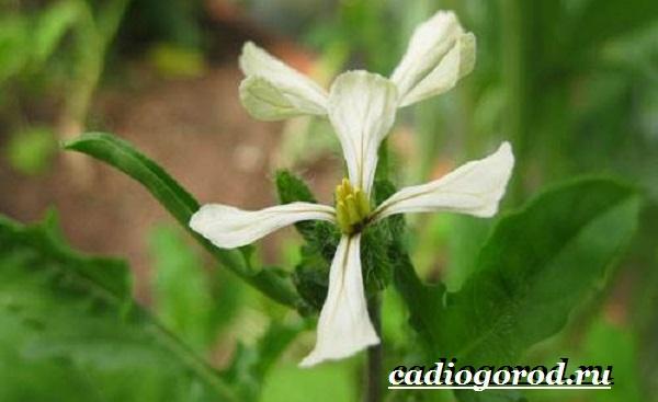 Руккола-растение-Выращивание-рукколы-Виды-и-уход-за-рукколой-11