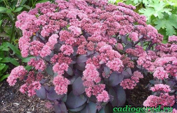 Седум-цветок-Описание-особенности-виды-и-уход-за-седумом-2