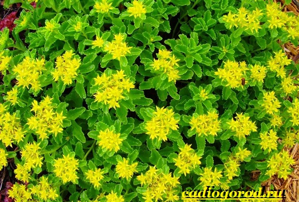 Седум-цветок-Описание-особенности-виды-и-уход-за-седумом-4