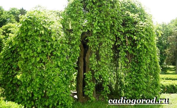 Шелковица-тутовое-дерево-Описание-особенности-виды-и-уход-за-шелковицей-5