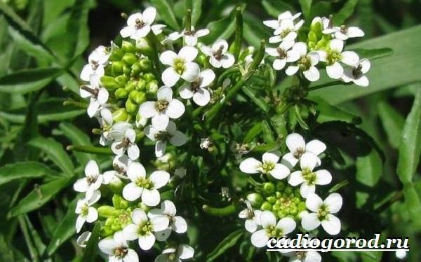 Шпинат-растение-Выращивание-шпината-Уход-за-шпинатом-11
