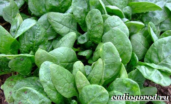Шпинат-растение-Выращивание-шпината-Уход-за-шпинатом-6