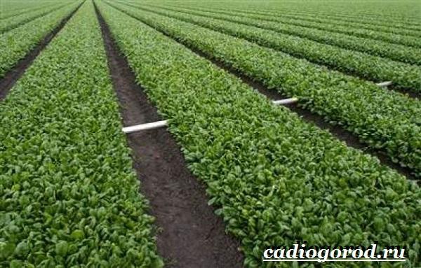 Шпинат-растение-Выращивание-шпината-Уход-за-шпинатом-8
