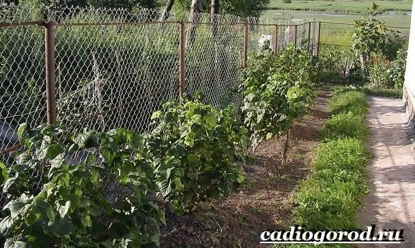 Смородина-ягода-Выращивание-смородины-Уход-за-смородиной-17
