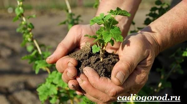 Смородина-ягода-Выращивание-смородины-Уход-за-смородиной-18