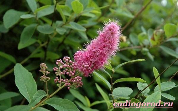 Спирея-цветок-Описание-особенности-виды-и-уход-за-спиреей-11