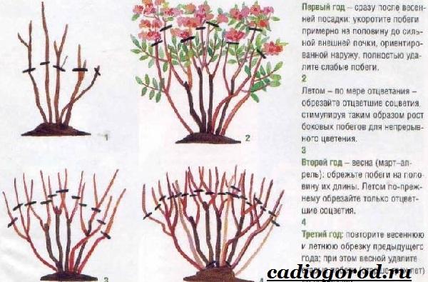 Спирея-цветок-Описание-особенности-виды-и-уход-за-спиреей-22