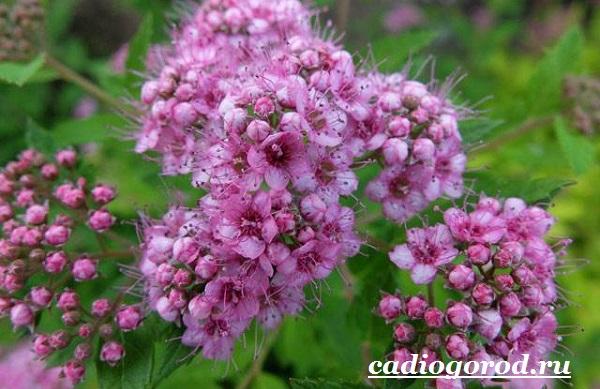 Спирея-цветок-Описание-особенности-виды-и-уход-за-спиреей-6