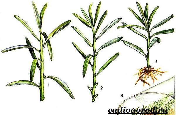 Тархун-трава-Описание-свойства-виды-и-уход-за-тархуном-19