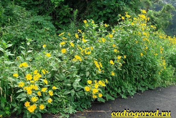 Топинамбур-растение-Выращивание-топинамбура-Уход-за-топинамбуром-1