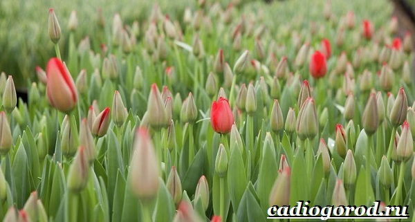 Тюльпан-цветок-Выращивание-тюльпанов-Уход-за-тюльпанами-13