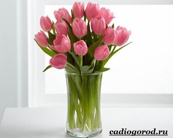 Тюльпан-цветок-Выращивание-тюльпанов-Уход-за-тюльпанами-6