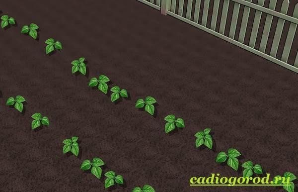 Выращивание-фасоли-Как-и-когда-сажать-фасоль-Уход-за-фасолью-23
