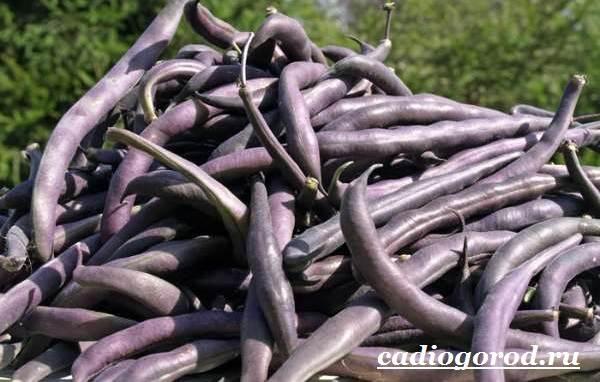 Выращивание-фасоли-Как-и-когда-сажать-фасоль-Уход-за-фасолью-26