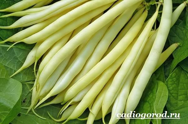Выращивание-фасоли-Как-и-когда-сажать-фасоль-Уход-за-фасолью-7