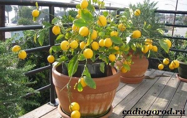 Выращивание-лимона-Как-вырастить-лимон-в-домашних-условиях-Уход-за-лимоном-17
