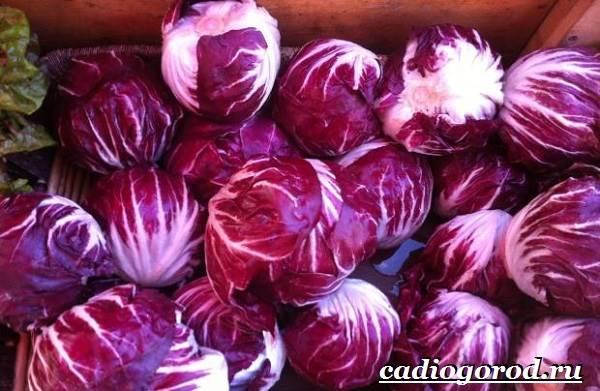 Выращивание-салата-Как-и-когда-сажать-салат-Уход-за-салатом-18-1