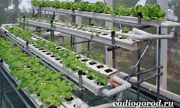 Выращивание-салата-Как-и-когда-сажать-салат-Уход-за-салатом-2