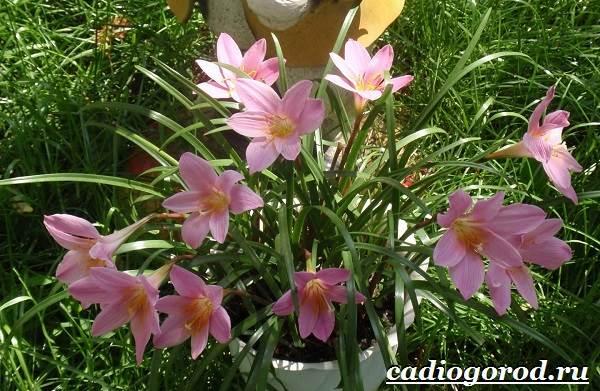 Выскочка-цветок-Выращивание-выскочки-Уход-за-выскочкой-2
