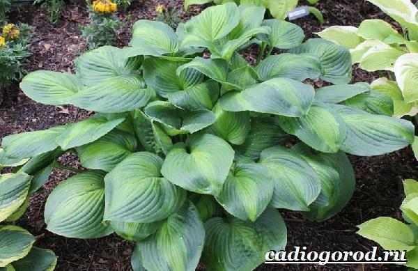 Хоста-цветок-Выращивание-хосты-Уход-за-хостой-11